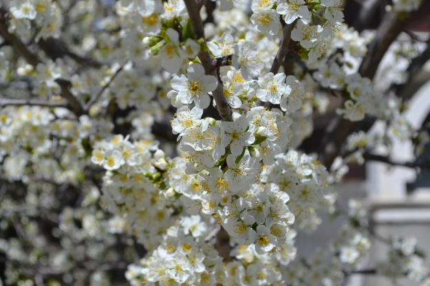 plum blossoms in my yard