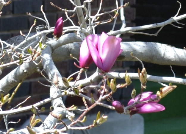 I think this is some sort of magnolia tree.