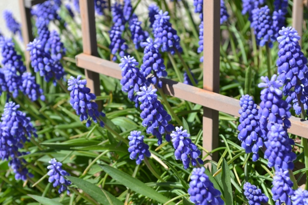 a sure sign of spring: grape hyacinth