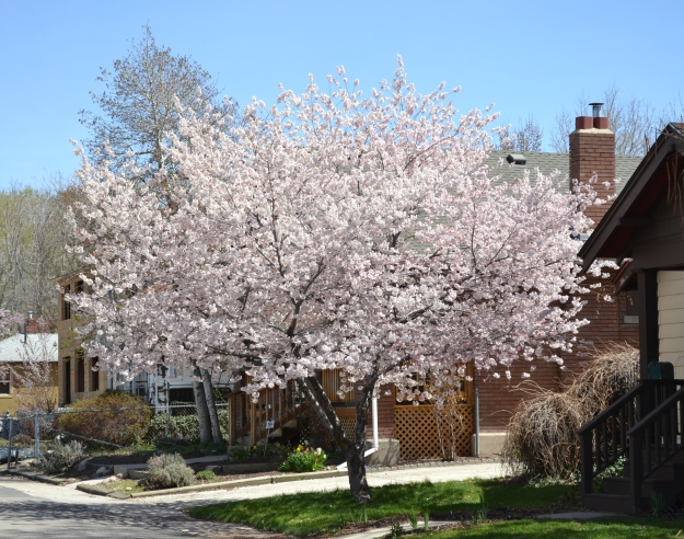 another neighborhood tree in full bloom
