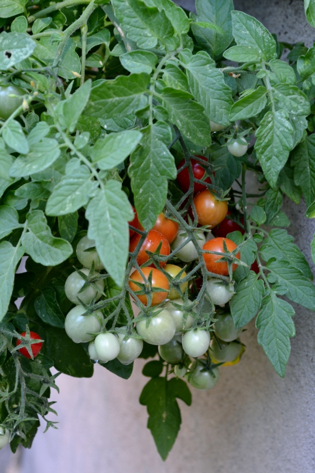 July cherry tomatoes