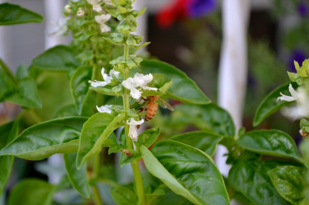 bee on basil (in need of a trim)