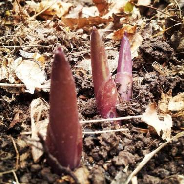 hosta spears April 2015